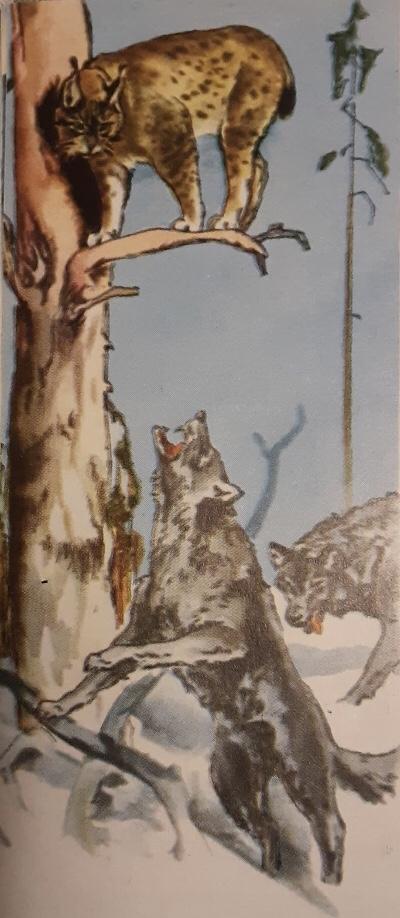 Susikuva koulukirjasta (Ulvinen, A., Sorsa, V., Suonperä, Y. & Kailanpää, A. 1968. Kansakoulun luonnonkirja. Porvoo: WSOY.