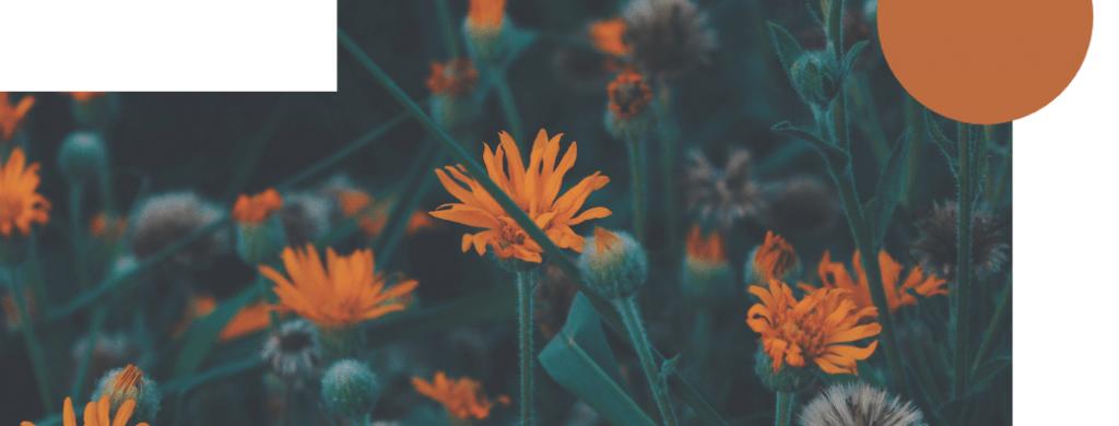 Oransseja kukkia pellolla