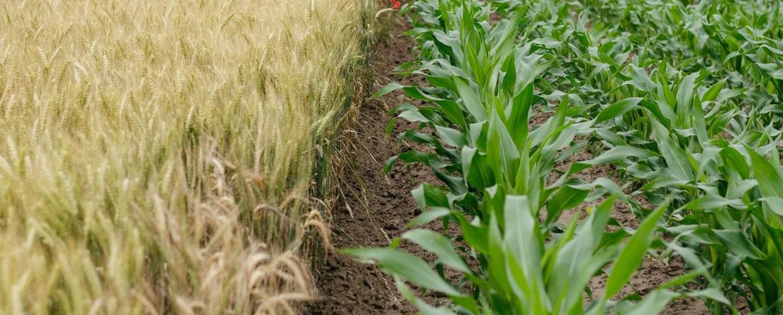 kahden pellon raja, toinen vaaleaa viljaa, toinen vihreitä vihanneksia.